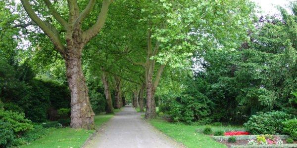 Blick über die von großen Platanen gesäumte zentrale Wegeachse auf dem Westfriedhof.